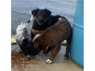 Se regalan hermosos puppys Puerto Rico