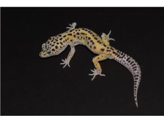 Leopard gecko Puerto Rico