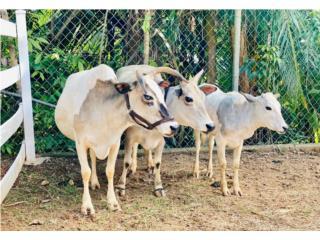 Puerto Rico Vaquitas  Miniatura , Perros Gatos y Caballos