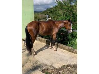 Hermoso caballo bien cuidado a buen precio Puerto Rico