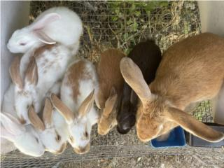 Conejos  Puerto Rico
