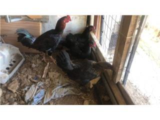Gallo y 3 gallinas shamos Puerto Rico