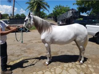 Yegua Mora (Colombiana)  Puerto Rico