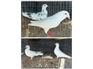 4 pareja paloma mensajera pinta Puerto Rico