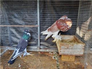 Pareja palomas buchona Puerto Rico