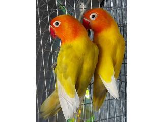 Lovebirds hembras disponibles Puerto Rico