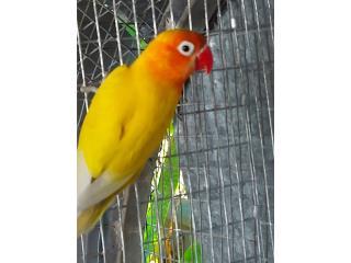 Lovebirds anillada Hembra Puerto Rico