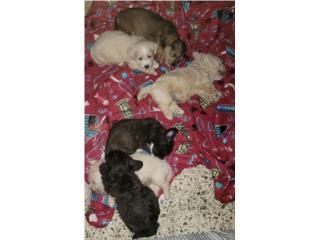 Puerto Rico Schnoodle pequeños , Perros Gatos y Caballos