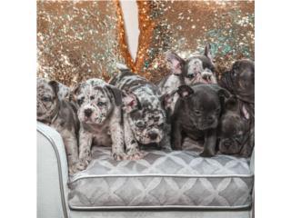 Puerto Rico French Bulldogs comenzando en 9K , Perros Gatos y Caballos