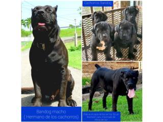 Clasificados Online Mascotas Excelente Bandog como perro guardian