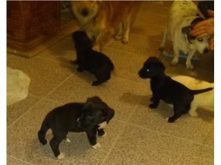 Perritos para adopción.,mascotas Puerto Rico