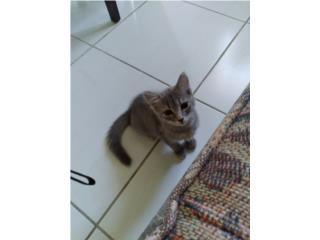 Puerto Rico Preciosa gatita gris busca hogar, Perros Gatos y Caballos