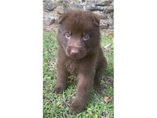 Puerto Rico German Shepherd Livers AKC, Perros Gatos y Caballos