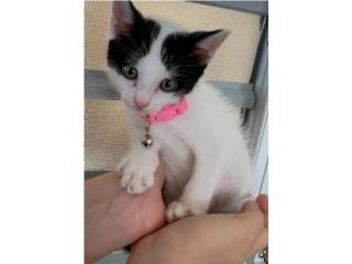 Gatita - kitten para adopcion Puerto Rico