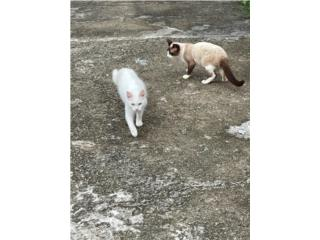 Regalo gatitas de ojos azules Puerto Rico
