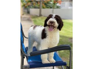 Puerto Rico Standard Poodle , Perros Gatos y Caballos