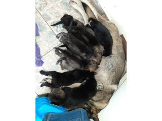 Puerto Rico Precioso perro German Shepherd a$400 , Perros Gatos y Caballos