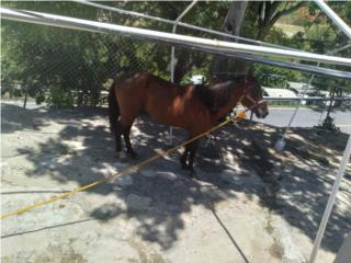 Vendo caballo, paso corto, largo y pica andadura Puerto Rico