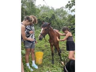 Puerto Rico Harley - 2 year old male horse -- Price 350, Perros Gatos y Caballos