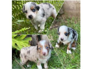 Puerto Rico Mini Australian (Aussie) Shepherds, Perros Gatos y Caballos