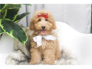 Goldendoodle Mini Hembra , Mascotas Puerto Rico