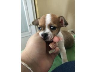Chihuahuas hembra , juguetona y cariñosa. 475 Puerto Rico