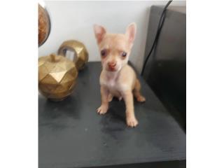 Chihuahua  Puerto Rico