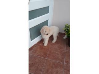Puerto Rico poodle giant, Perros Gatos y Caballos