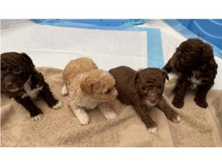 Preciosos poodles  Puerto Rico