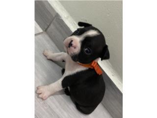Boston Terrier Puerto Rico