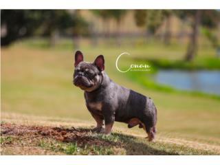 Puerto Rico French bulldog stud, Perros Gatos y Caballos