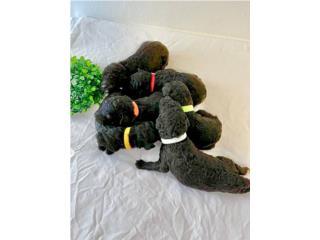 Puerto Rico Poodle Standard Nenes  ACA FULL Registration, Perros Gatos y Caballos