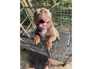 Puerto Rico American Bully Exotic, Perros Gatos y Caballos