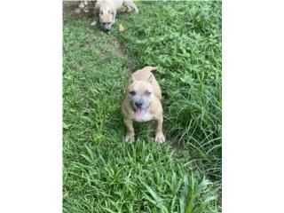 Puerto Rico American Bully Hembra, Perros Gatos y Caballos