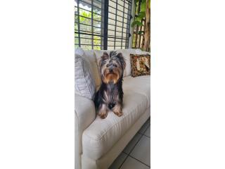 Puerto Rico Yorkshire Terrier Lineas Campeonas, Perros Gatos y Caballos