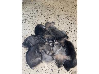 Puerto Rico Schnauzer Miniatura, Perros Gatos y Caballos
