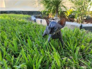 Sphynx Cat  Puerto Rico