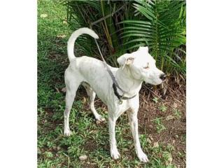 Perro joven manso  Puerto Rico