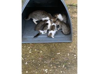 Gatitos en adopción  Puerto Rico