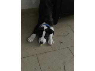 Adopción de Perro  Puerto Rico
