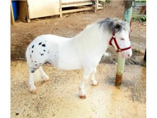 Pony Miniatura  Puerto Rico