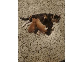 Regalado gatitos 7 semanas Puerto Rico