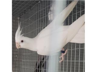 Pareja de cockatiel con papeles  Puerto Rico