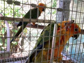 Cotorras jenday conure Puerto Rico