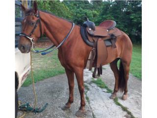 Cv  caballo Puerto Rico