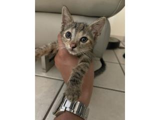 Gatito bebe para adopcion Puerto Rico