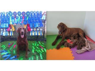Labradores Chocolate con papeles AKC, Mascotas Puerto Rico