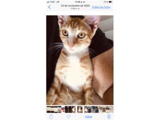 Cariñoso gatito 6 mese d edad  Puerto Rico