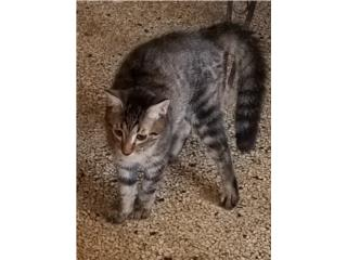 Se regala gatitos Puerto Rico