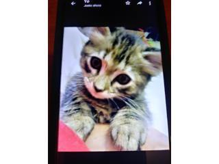 Se regala gatita de 2 meses y medio.   Puerto Rico